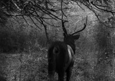 The stag royalty free stock images