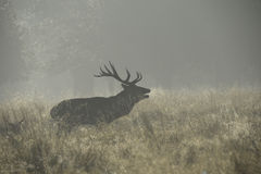 Stag in the mist bellowing. Stag during the rut bellowing into the mist Royalty Free Stock Photography