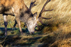 Stag munching on grass stock images