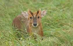 A stag Muntjac Deer Muntiacus reevesi standing in the long grass. A cute stag Muntjac Deer Muntiacus reevesi standing in the long grass Royalty Free Stock Photography