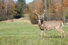 Stag in nature during fall Royalty Free Stock Photos