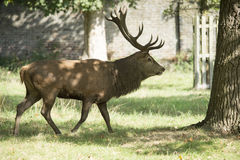 Stag in Parkland. Stag with magnificent antlers during the Rut Stock Photo