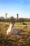 Stag. Peaceful stag in the middle of the civilization Royalty Free Stock Photography