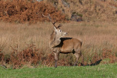 Stag photographed on Jura in Scotland Royalty Free Stock Images