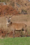 Stag photographed on Jura in Scotland Royalty Free Stock Photography