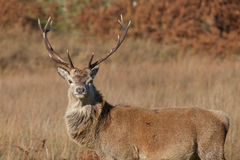 Stag photographed on Jura in Scotland. Stag photographed in Scotland during Autumn/Fall with an impressive set of antlers looking directly at the camera Stock Image