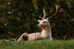 A Stag posing Royalty Free Stock Images