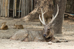 Stag Red Deer. With its beautiful antler, resting from hot weather in mire Royalty Free Stock Photo