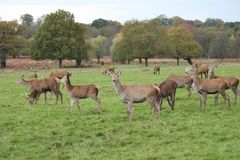 Stag red deer running wild England- Cervus elaphus Stock Photos
