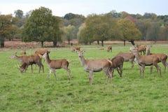 deer Stag red wild England- Cervus elaphus stock photos