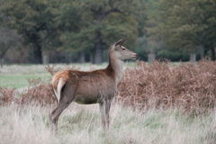 Stag red deer running wild England- Cervus elaphus Royalty Free Stock Images