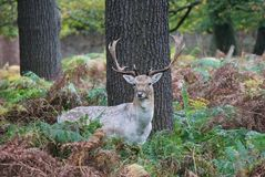 Stag red deer wild England- Cervus elaphus Royalty Free Stock Photo