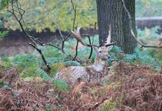 Stag red deer wild England- Cervus elaphus Royalty Free Stock Photos