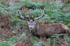 Stag red deer wild England- Cervus elaphus Royalty Free Stock Images