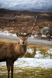 Stag. Red deer stag in wintery highlands scenery Stock Images