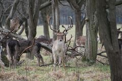 Stag reindeer in phoenix park Royalty Free Stock Images