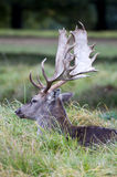 A stag resting at Charlecote Park Royalty Free Stock Images
