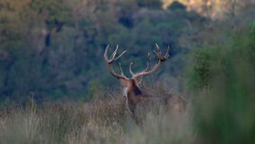 Stag roaring stock video