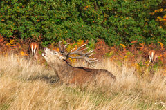 Stag Roaring in Richmond Park Royalty Free Stock Image