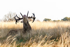 Stag Roaring in Richmond Park Stock Images