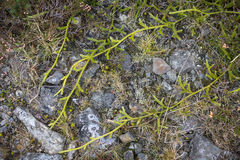 Stag's Horn Clubmoss creeping across path Stock Photography