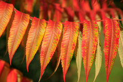 Stag's Horn Sumach (Rhus typhina) Stock Photo