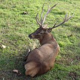 Stag sitting on grass royalty free stock photography
