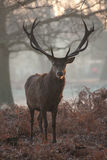 Stag Royalty Free Stock Photo