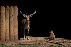 Stag staring out from shed beside macaque Stock Photos