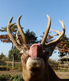 Stag with tongue Stock Photography
