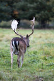 A stag walking away at Charlecote Park Royalty Free Stock Images