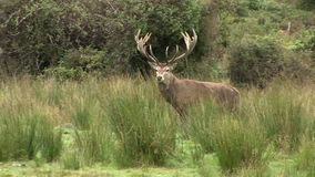Stag walking stock video