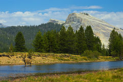 Stag wandering down the river in Tuolumne Meadows Stock Images