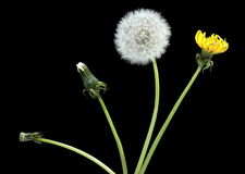 Stage of development dandelion. Isolated on black Royalty Free Stock Images