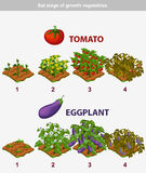 Stage of growth vegetables. Tomato and Eggplant Royalty Free Stock Photos