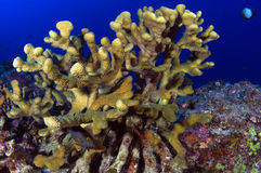 Stage Horn Coral. Stag horn coral provides shelter for many species of marine life Royalty Free Stock Photos