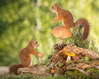On stage. Red squirrels standing on and with mushrooms Royalty Free Stock Image