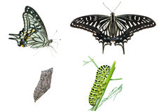 Stages of butterfly  Royalty Free Stock Photo