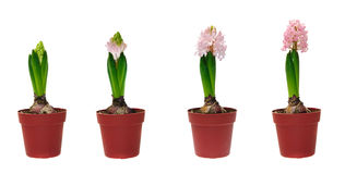 Stages of development of a hyacinth stock photos