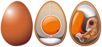 Stages of egg development. Illustration Royalty Free Stock Image
