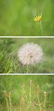 Stages of the goats beard flower Stock Photo