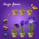 Stages of growing magic blue flower Royalty Free Stock Image