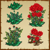 Stages of growth carnations Royalty Free Stock Images