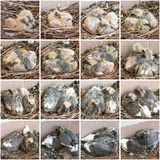 Stages  growth of chicks pigeons Stock Images