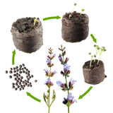 Stages of growth of Common sage or Salvia officinalis from seed to a flowering plant. Life cycle plant Stock Image