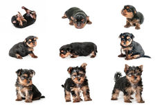 Stages of growth puppy yorkshire terrier Royalty Free Stock Image