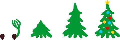 Stages of growth of spruce from seed to Christmas tree. With toys vector illustration