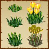 Stages of growth yellow tulips, from planting to Stock Image