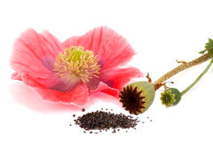 Stages of poppy Stock Photo