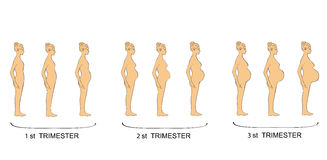 Stages of pregnancy women trimester. vector illustration.  Stock Images